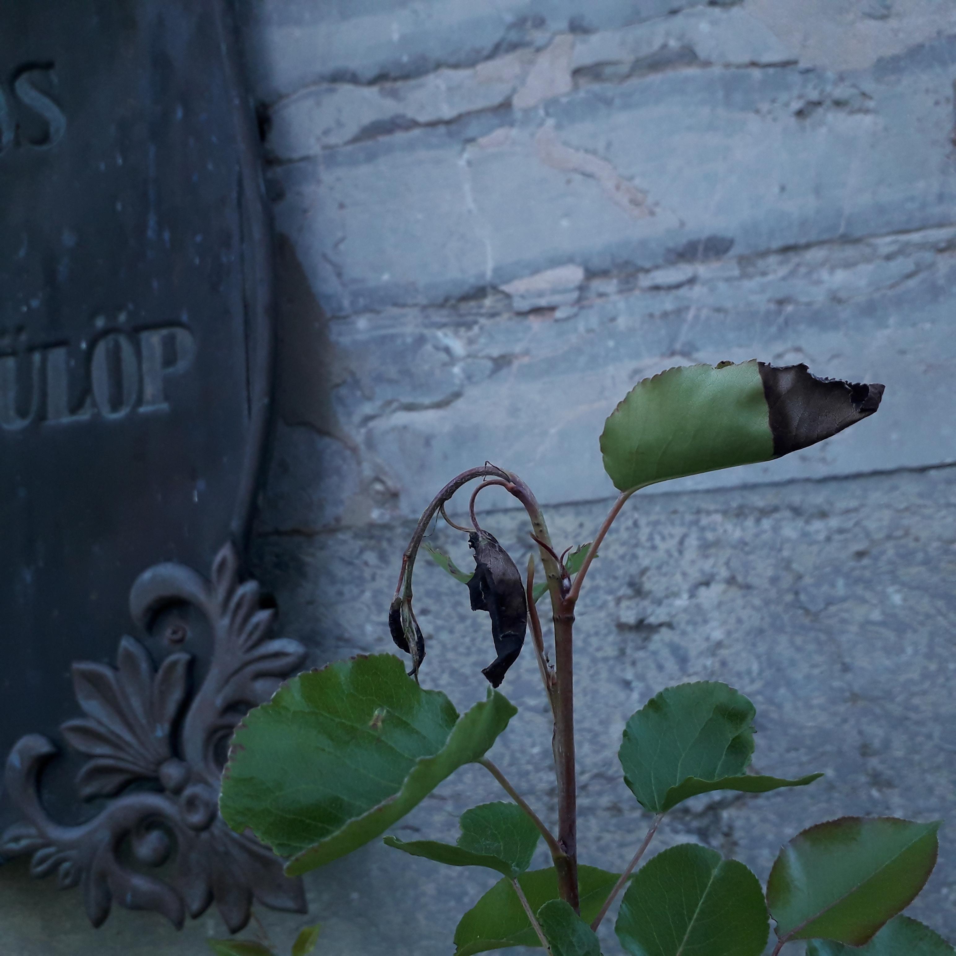 Hajtáshervasztó darázs kártétele vadkörtén a körmendi Obeliszknél